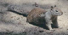 Photo of a brown California Ground Squirrel.
