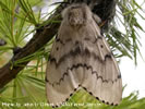 Photo of a female Asian Gypsy Moth.