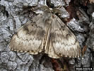 Photo of a male Asian Gypsy Moth.