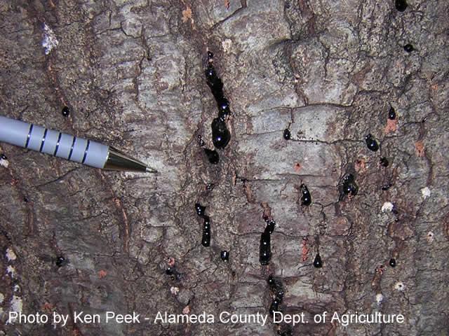 sudden oak death sod program pest exclusion