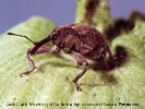 Photo of a brown Boll Weevil on a leaf.