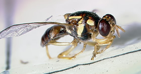 Photo of Guava Fruit Fly