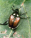 Photo of Adult Japanese Beetle