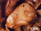 Picture of Khapra Beetle larva damage.