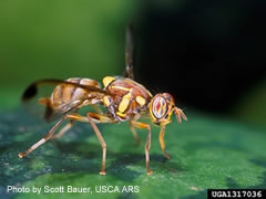 Photo of Melon Fruit Fly