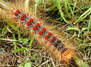 Photo of Gypsy Moth Larva