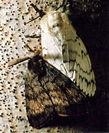 Photo of a gray-brown colored male moth and white colored female moth.