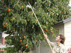 Photo of an inspector placing a trap in a persimmon tree.