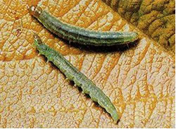 Photo of Light Brown Apple Moth larvae at final stage.