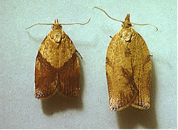 Photo of Light Brown Apple Moths showing the difference between a male and a female.