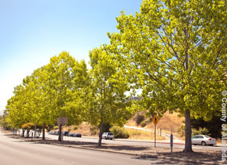 Photo of trees planted by the County.