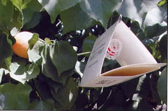Photo shows triangular-shaped Jackson trap hanging in an apricot tree.