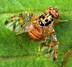 Photo of Mediterranean Fruit Fly