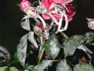 Photo of a rose plant with Powdery Mildew Disease.
