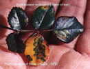 Photo show leaves of a rose plant with rust-colored blotches from Rust Disease