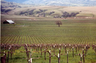 Photo shows rows of grape vines in an Alameda County vineyard.